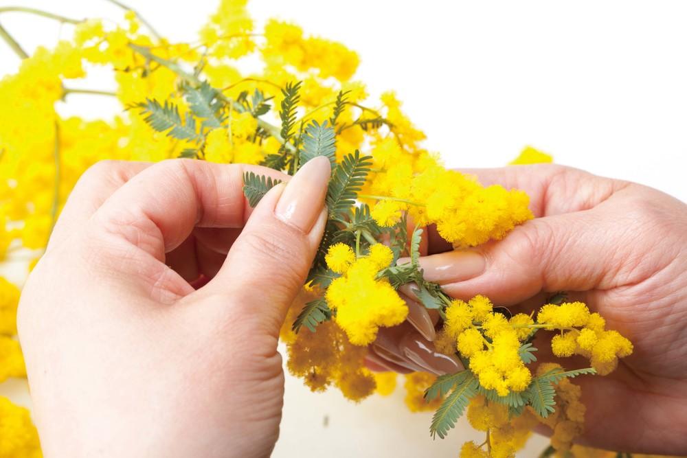 の 花 ミモザ