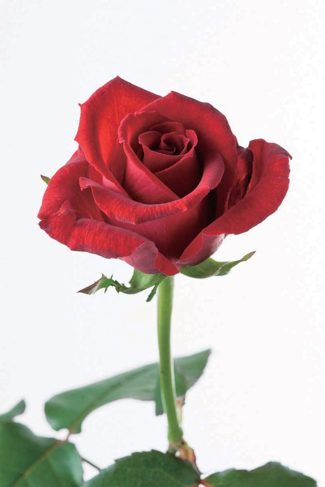 バラ好きなら、 絶対知っておき...