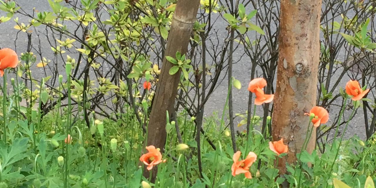 雑草 花 オレンジ の ナガミヒナゲシの毒性とアレロパシーについて